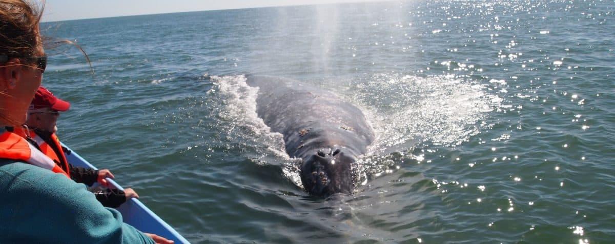 Grey whales baja california mexico