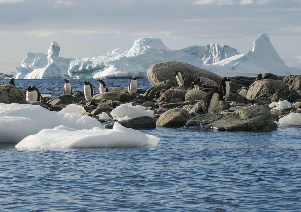 Amanda Zeisset - Cuverville Island - Penguins - DSC09011