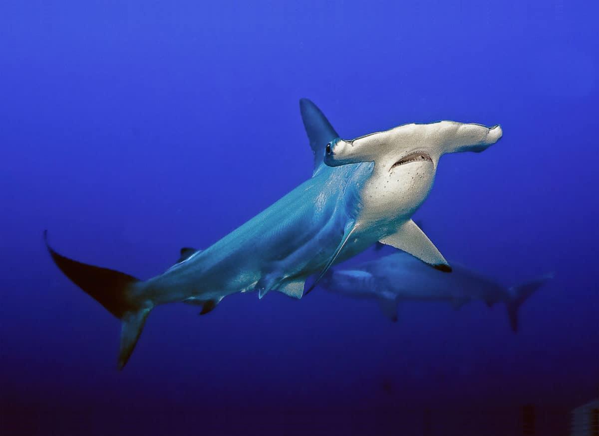 Hammerhead Shark swimming in open water.
