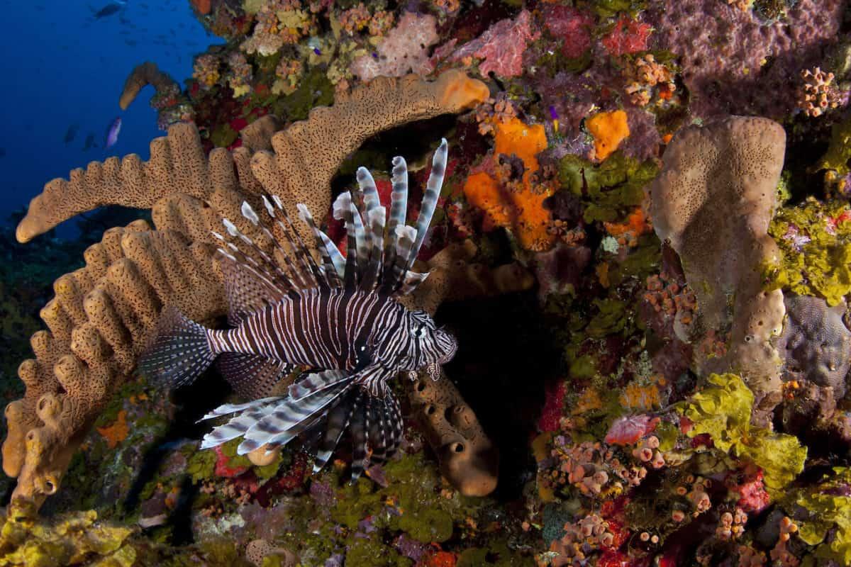 Invasive Lionfish in Saba