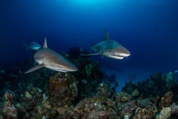 best liveaboard destinations for diving with sharks