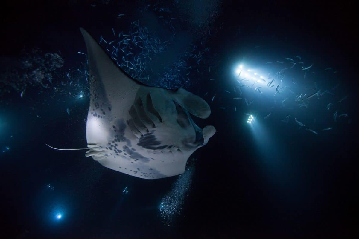 best liveaboard destinations for diving with manta rays