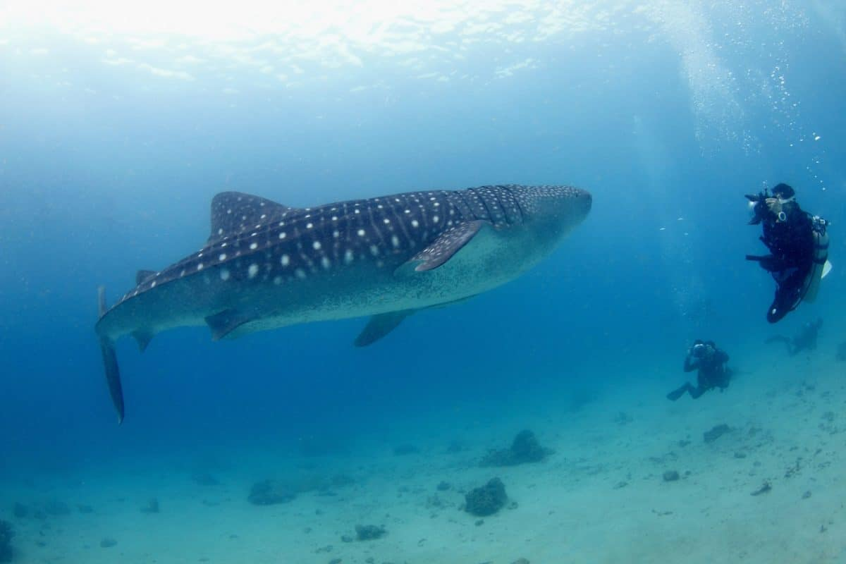 Liveaboard Destinations To Dive with Whale Sharks - The