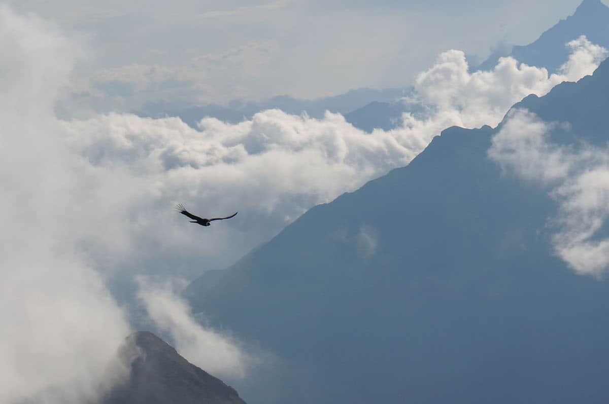 Condor in the Peruvian Andes