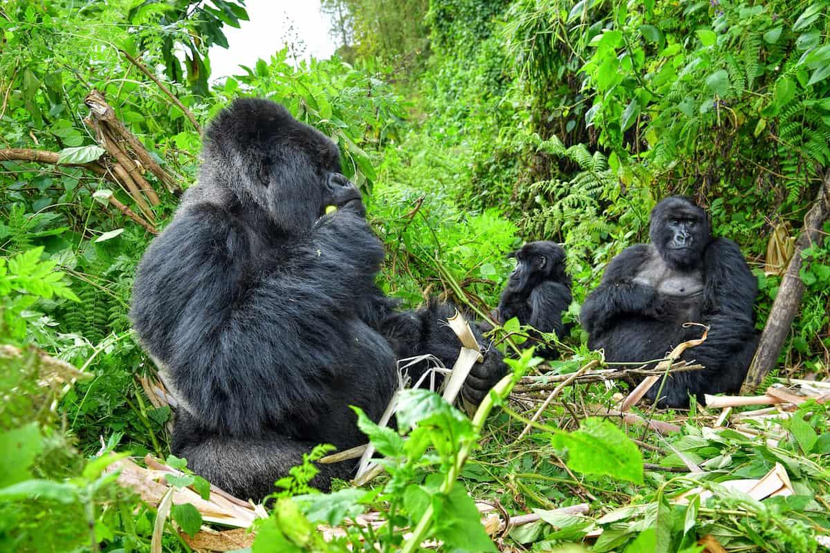 Gorila Family in Bwindi National Park, Uganda
