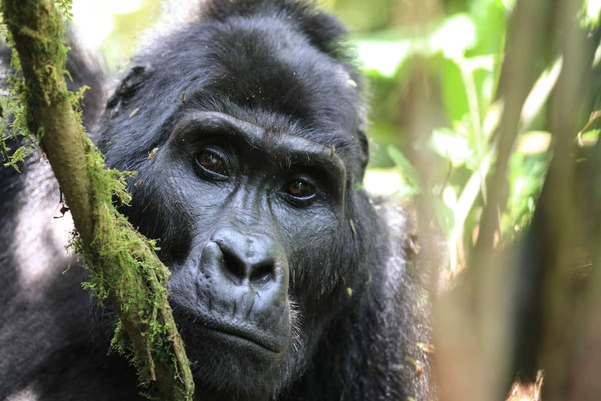 Mountain gorillas of Bwindi Impenetrable Forest, Uganda