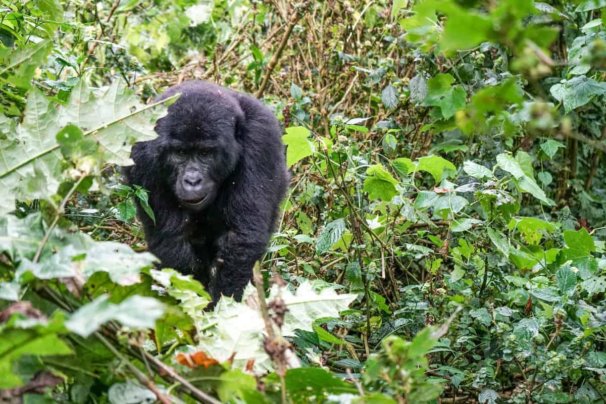 Mountain Gorila