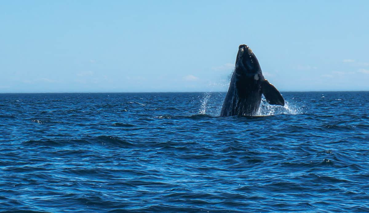whale watching peninsula valdes