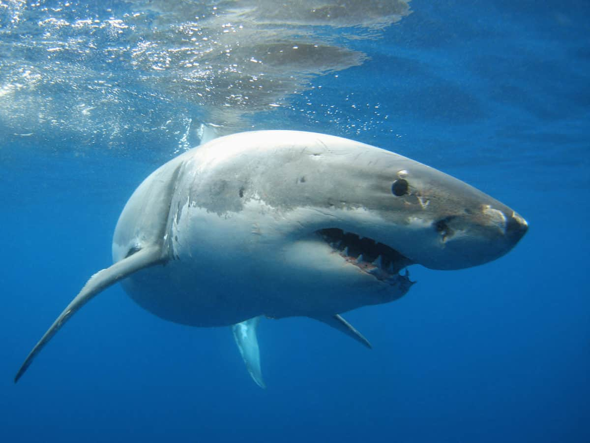 Liveaboard Diving in Guadalupe Island, Mexico