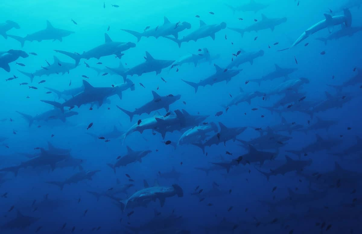 Liveaboard Diving in Malpelo Island, Colombia