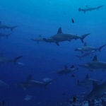 Malpelo liveaboard diving