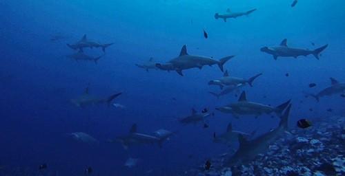 Scuba Diving Malpelo Colombia