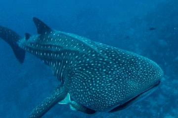 The Ultimate Underwater Adventure: Scuba Diving Malpelo