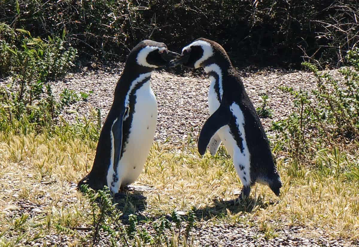 penguins kissing