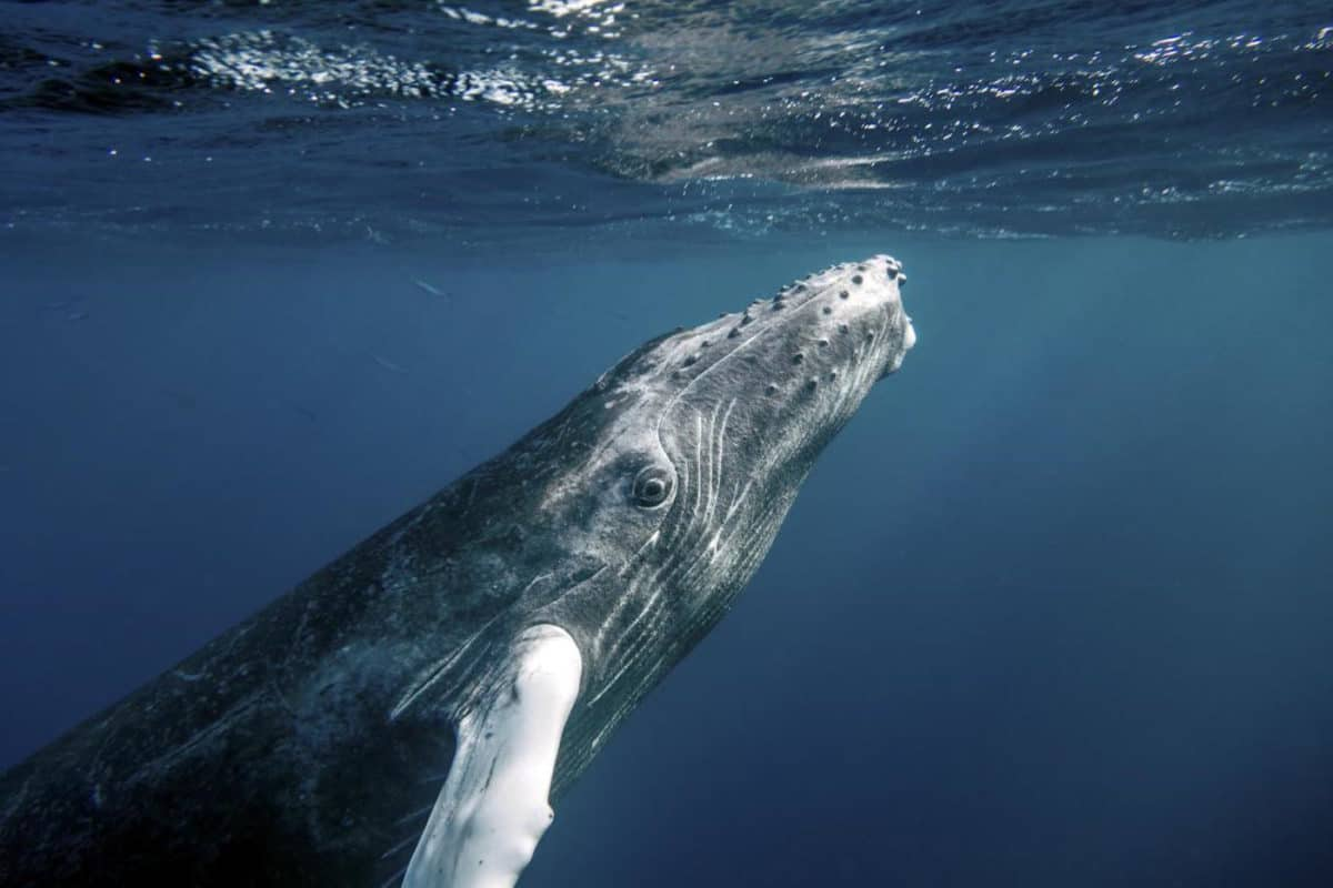 Scuba diving with humpback whales in Dominican Republic