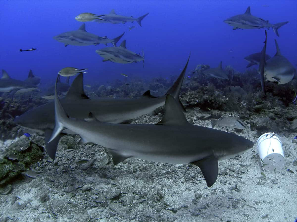 Shark diving in Roatan - Honduras