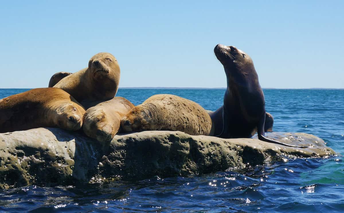sea lions peninsula valdes