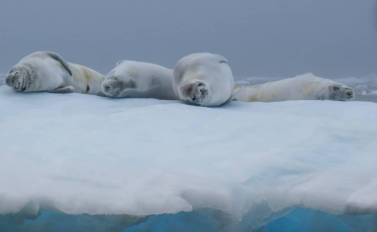 Crab Eater Seal Antarctica