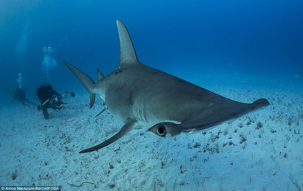 diving with great hammerhead sharks in Bahamas
