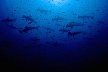 malpelo live aboard diving trips