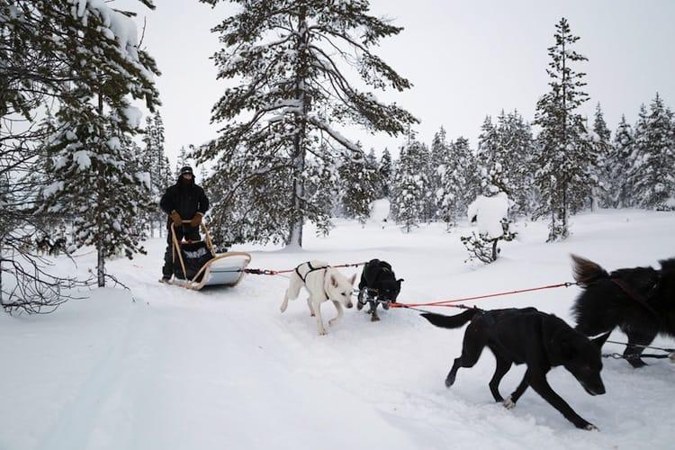 Dog sleeding Lapland