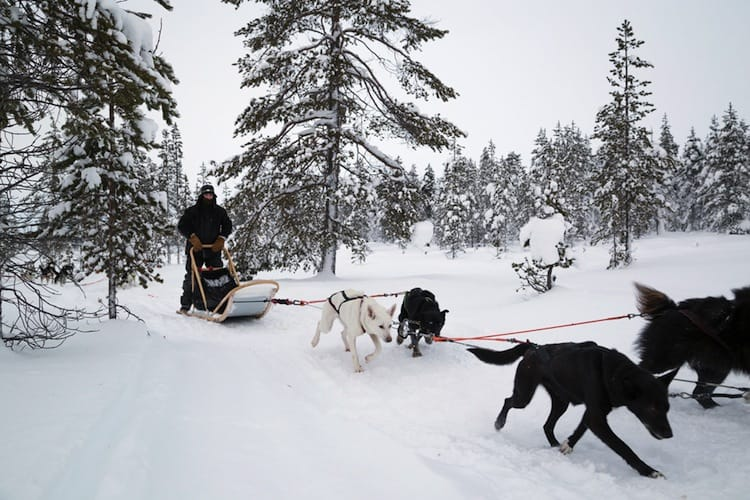 Dog sleeding Lapland