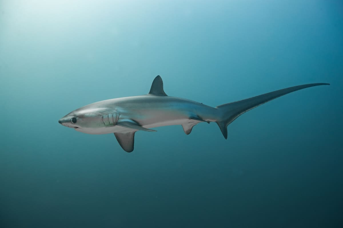 Scuba diving with thresher sharks in Malapascua, Philippines